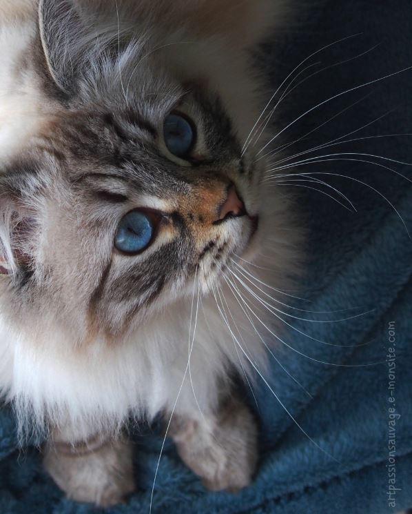 Chat sibérien - Nouga