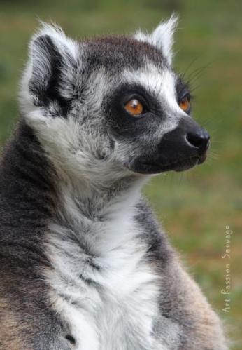 Lémurien Maki catta