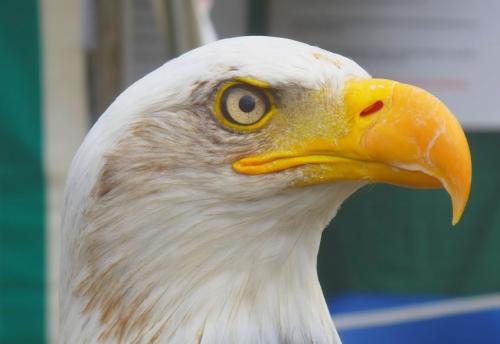 Aigle tête blanche